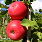 Rootstock Apple