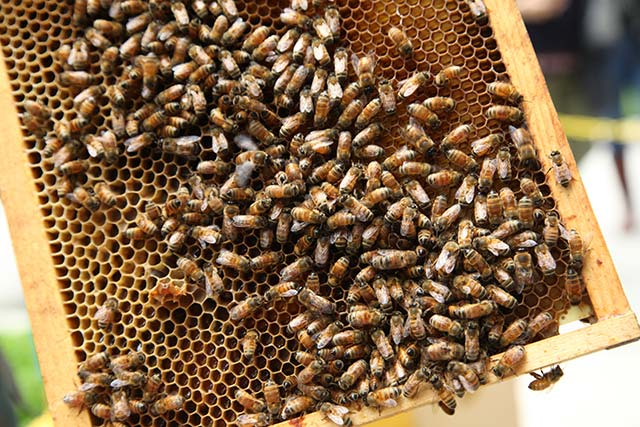 New York Hilton Honey Bees - Urban Beekeeping Movement