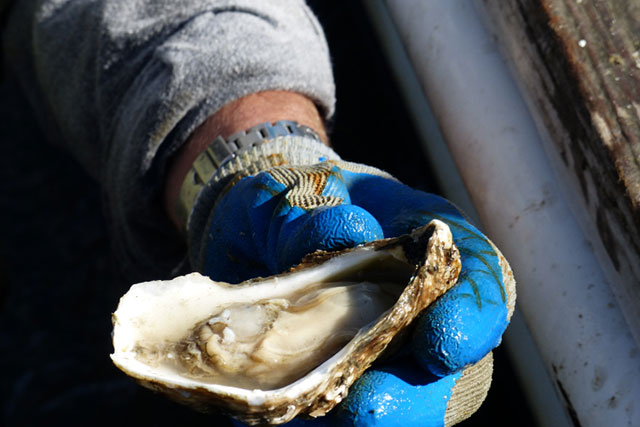 local-eats-lynnhaven-oysters